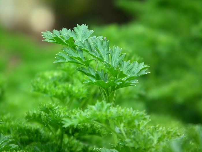 Infusión de perejil para adelgazar, composición de la planta.
